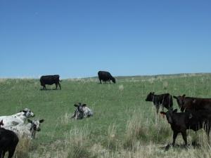 Love those cows!