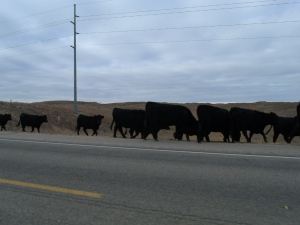 We slowed to watch a cattle drive.